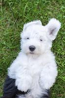 オールドイングリッシュシープドッグの子犬