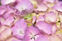 神奈川県 あじさいの里 蛙