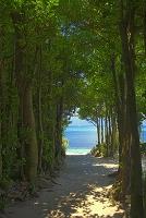 沖縄県 備瀬のフクギ並木と海