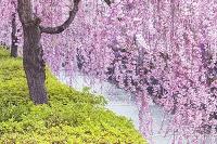 山形県 倉津川のしだれ桜
