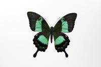 蝶 標本 オビクジャクアゲハ フィリピン