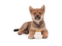 シバ 鏡餅と仔犬