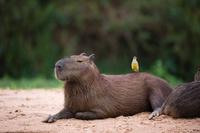キバラオオタイランチョウとカピバラ