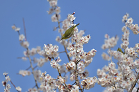 梅の花に来たメジロ