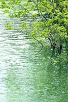水に浸かる新緑の木