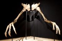 デイノケイルスの腕の化石