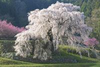 夜明けの光を浴びる又兵衛桜