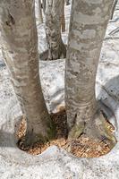 山形県 ブナ林の根開け