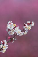 滋賀県 紅梅に浮き上がる白梅