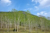 北海道 新緑の白樺林