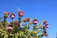 静岡県 御殿場口登山道 フジアザミの花と青空