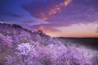 北海道 朝の深山峠の桜