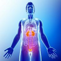 腎臓と泌尿器