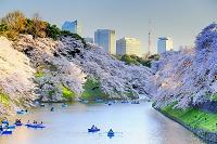 東京都 千代田区 千鳥ヶ淵の桜