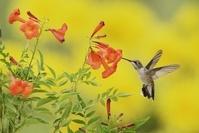 ノドアカハチドリ