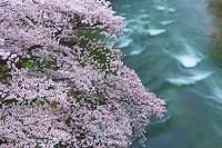 福島県 桜と摺上川