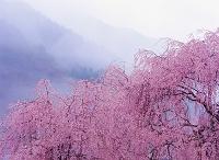 長野県・大桑村 シダレザクラ 雨