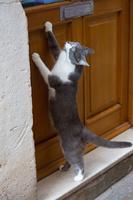 扉を開けたがるグレーの猫
