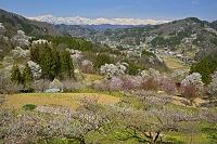 長野県 中条の桜と北アルプスの山々