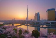 東京都 台東区 隅田公園の桜とスカイツリーと朝日