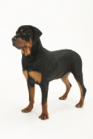 ロットワイラー 横を向いて立っている犬
