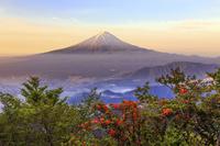 山梨県 ヤマツツジ咲く新道峠より朝焼けの富士山