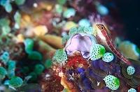 コモド諸島 タテジマヘビギンポ