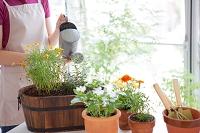 鉢植えの花に水遣りをする日本人女性