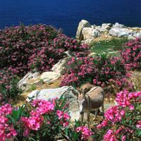 ギリシャ ロバ