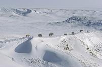 カナダ エルズミーア島 オオカミの群れ
