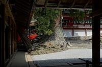 奈良県 春日大社境内の大杉(樹齢千年)