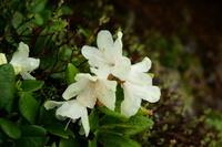 山梨県 シャクナゲ 高山植物