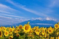 山梨県 ヒマワリと雲湧く八ヶ岳