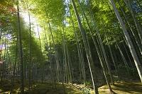 京都府 京都市 天龍寺の竹林