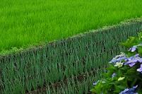 千葉県・八千代市 ナガネギ畑