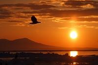 北海道 知床 夕日をバックに飛ぶオオワシ