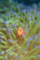 海中のイメージ カクレクマノミ