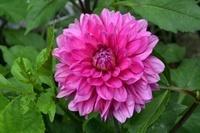 花壇 ダリアの花