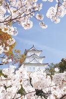 兵庫県 桜と明石城 明石公園