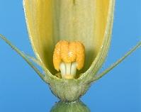 カボチャ 雌花 花が咲いた時のめしべ 9月