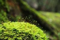 森の中の倒木に生えた苔