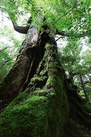 鹿児島県 白谷雲水峡の七本杉
