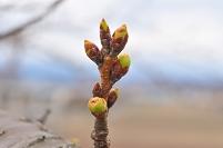 サクラ 枝先 冬芽 膨らむ