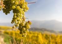 オーストリア ブドウ畑