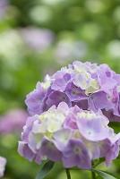 パステルカラーの紫陽花