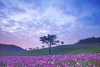 長野県 佐久市 佐久高原 朝のコスモス畑と木立と流れる雲