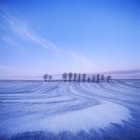 北海道 美瑛町 融雪剤散布跡とサクランボ並木