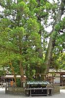 奈良県 桜井市 大神神社 巳の神杉