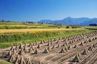 長野県 収穫頃の稲田と南アルプス(甲斐駒ヶ岳)