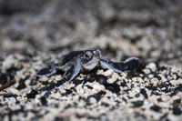 孵化して海を目指すアオウミガメの赤ちゃん